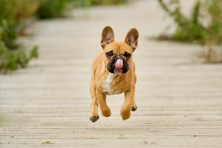Hasil gambar untuk french bulldog