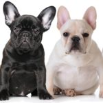 french bulldog blog