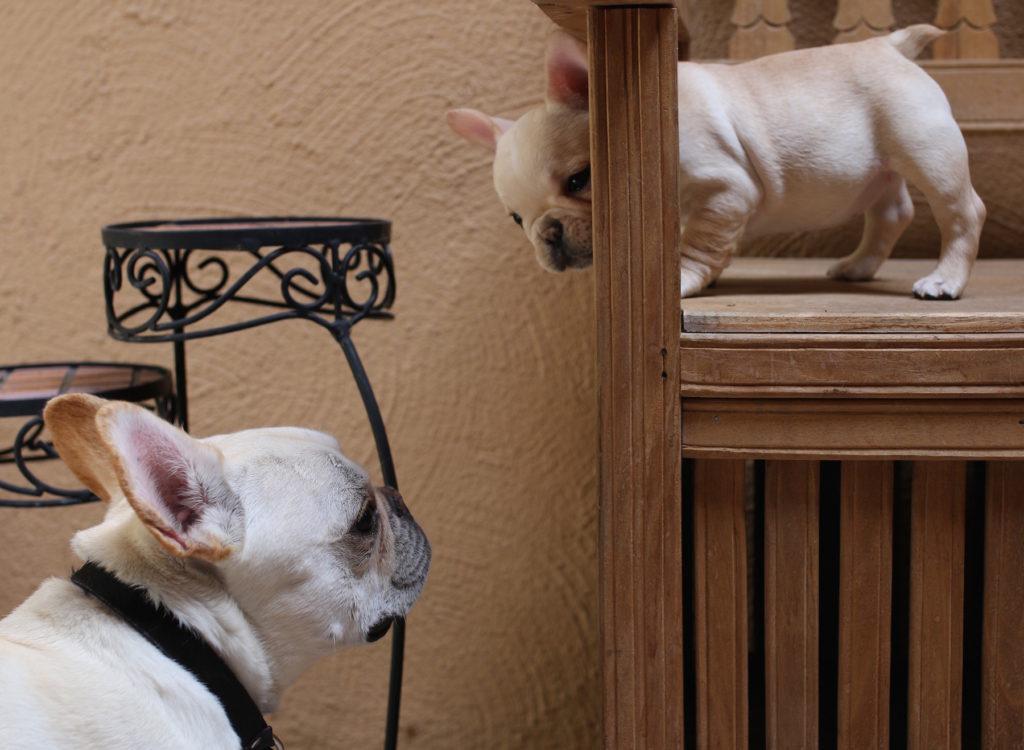 french bulldog wtfrenchie
