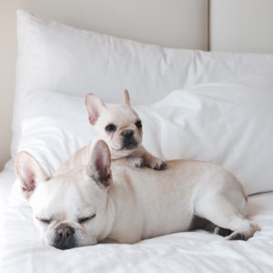 Normally Cream Colored French Bulldogs Have A White Coat And Distinctively Diffe From Fawn Coats