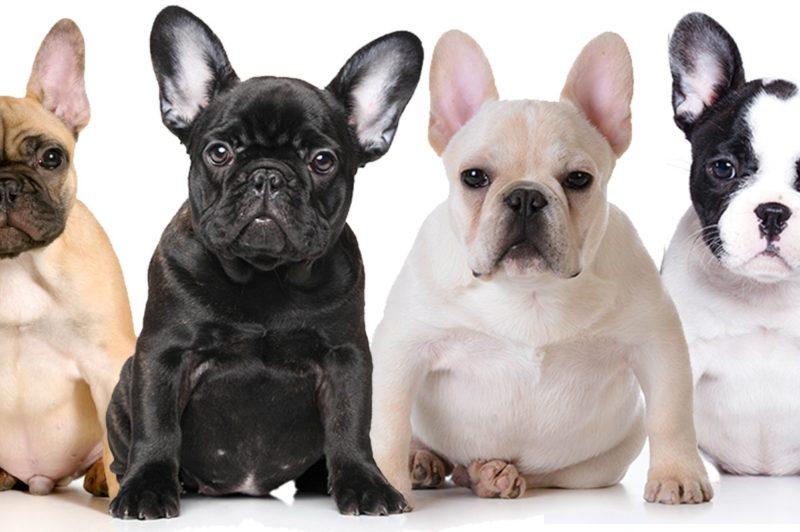 french bulldog blog
